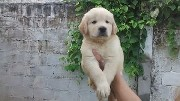 Lindos filhotes de golden retriever com pedigree